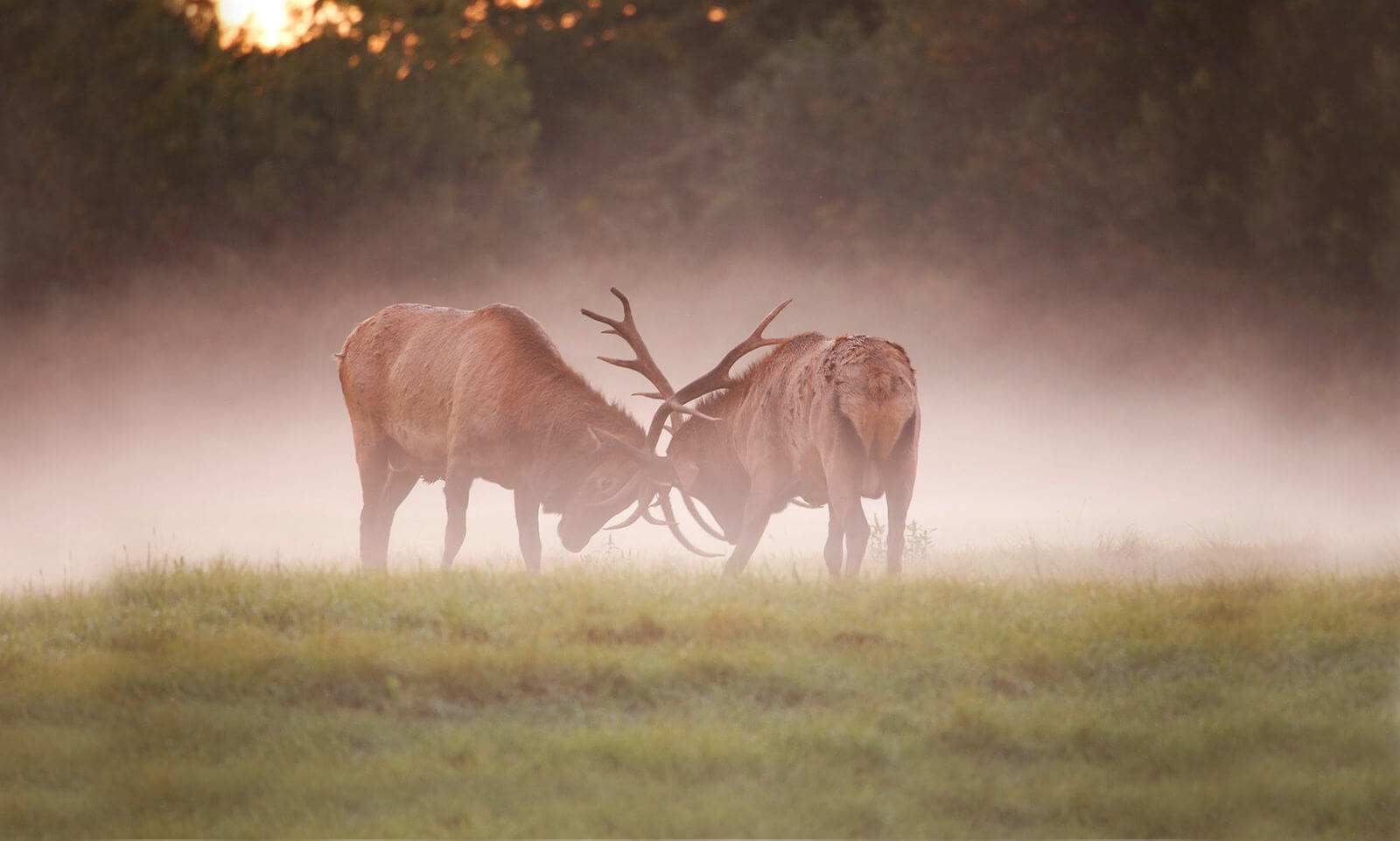 Bull Elk Fight captured by iNET photographers